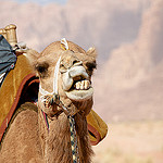 camel ouch