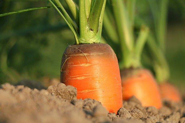 image of carrots growing